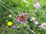 Image: Small Tortoiseshell on Field Scabious